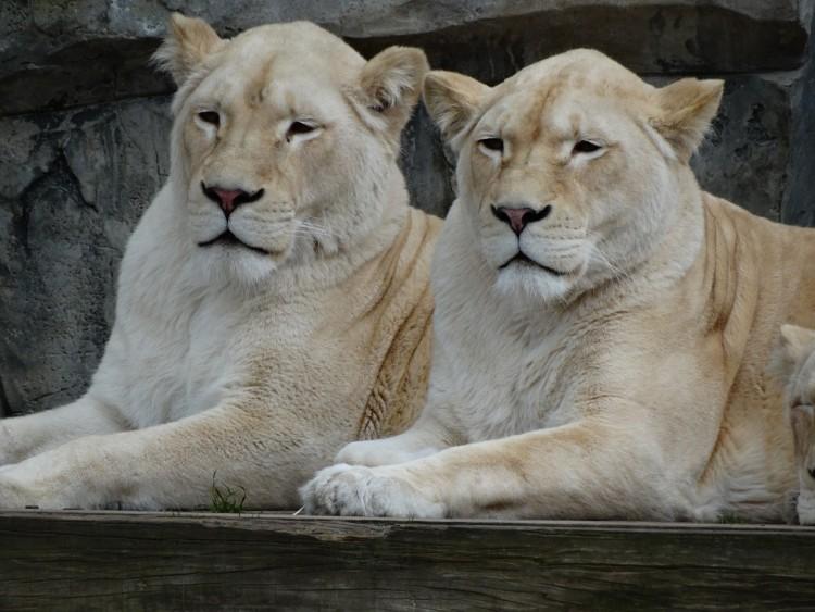 Zwei Löwenweibchen - die Höhle der Löwen / Christiane68/pixaby.de