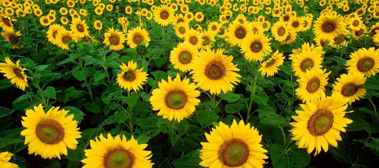 Sonneblumen Land Landfrauen Landwirtschaft